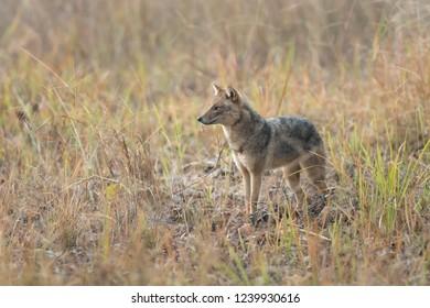 Black-backed Jackal (Canis mesomelas) - Kanha