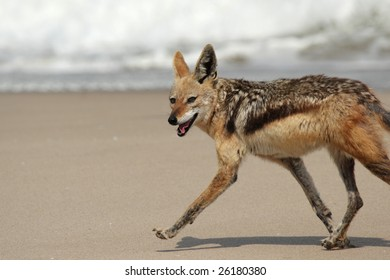 Black-backed Jackal (Canis mesomelas) running over the beach in Namibia