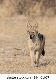 Black-backed Jackal (Canis mesomelas) running in the Africa bush