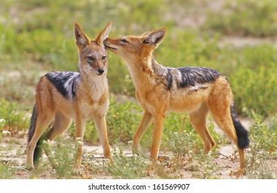 black-backed jackal [Canis mesomelas], south africa