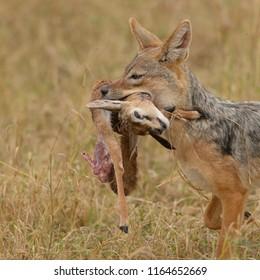 Black-backed Jackal (Canis mesomelas) - with Thompson Kill