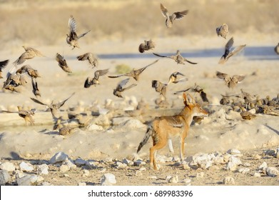 Blackbacked Jackal ( Canis mesomelas). Young jackal hunting sand-grouse around a waterhole in the Kalahari desert, Kgalagadi, South Africa.