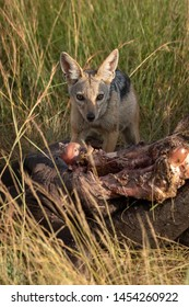 Black-backed jackal crouches by carcase checking horizon