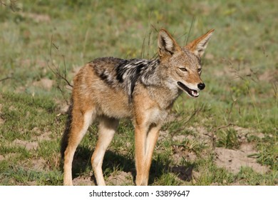 Black-backed Jackal in an Eastern cape reserve.