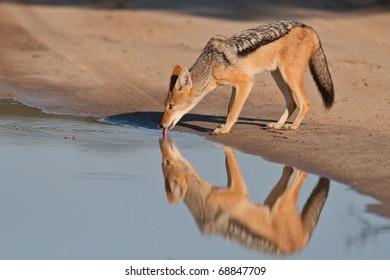 Black-backed Jackal, Kalahari Desert