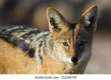 Black-backed jackal of the Kalahari, South Africa