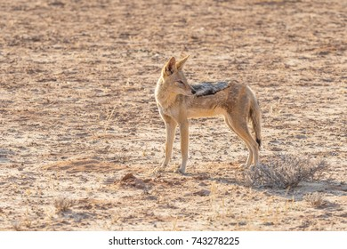 A Black-Backed Jackal in the Kgalagadi Transfrontier Park, situated in the Kalahari Desert which straddles South Africa and Botswana.