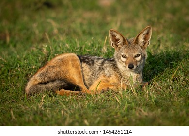 Black-backed jackal lies in grass eyeing camera
