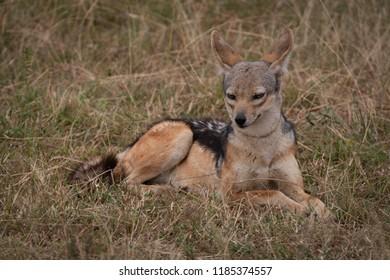 Black-backed jackal lies in grass facing camera
