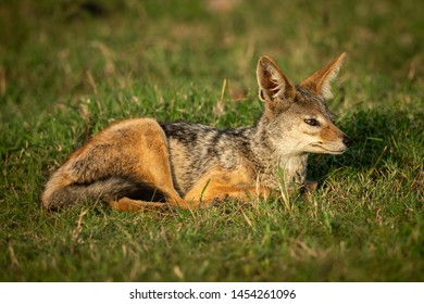 Black-backed jackal lies in grass looking right