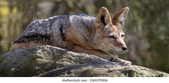 black-backed jackal lying