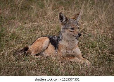 Black-backed jackal lying in grass looking right
