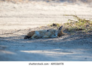 A Black-backed Jackal lying on it's side, sleeping in the shade of a tree.
