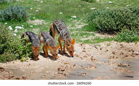 Black-backed jackal mother with cubs drinking water