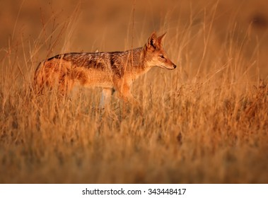 Black-backed Jackal in motion in the grass of savanna lit by early morning sun, with orange colours and distant background.