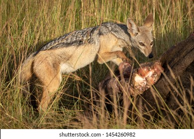 Black-backed jackal paws guiltily at buffalo carcase
