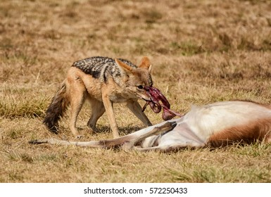 A Black-backed Jackal scavenging from an unattended carcass in Southern African savanna