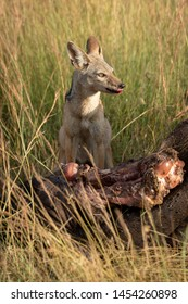 Black-backed jackal sits by carcase scanning horizon