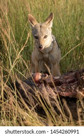 Black-backed jackal sits by carcase eyeing camera