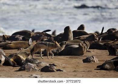 Black-backed jackal sneaking through fur seal colony at the Skeleton Coast