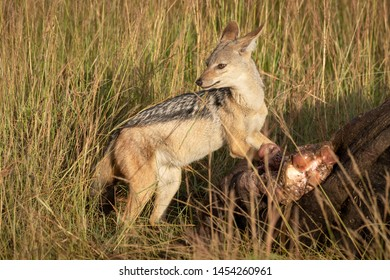 Black-backed jackal stands by carcase looking back