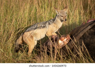 Black-backed jackal stands by carcase scanning horizon