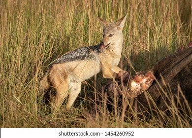 Black-backed jackal stands eating meat from carcase