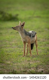 Black-backed jackal stands in grass looking up