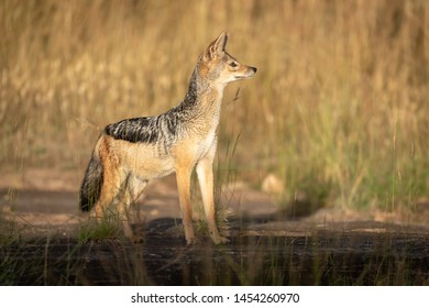 Black-backed jackal stands in grass in sunshine