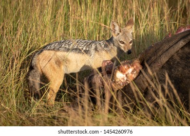 Black-backed jackal stands guiltily by buffalo carcase