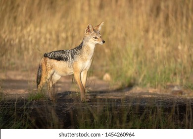 Black-backed jackal stands lifting head in sunshine