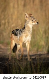 Black-backed jackal stands lifting paw in sunshine