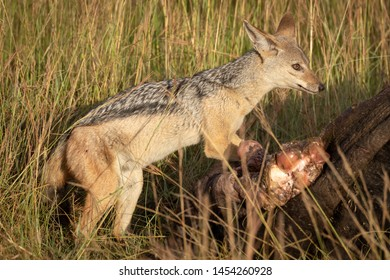 Black-backed jackal stands nervously by buffalo carcase