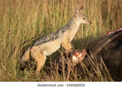 Black-backed jackal stands on carcase scanning horizon