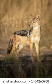 Black-backed jackal stands on rock in sunshine