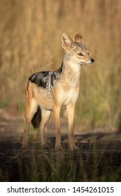 Black-backed jackal stands on rocks in sunshine