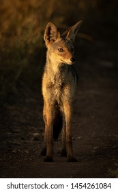 Black-backed jackal stands on track at dawn