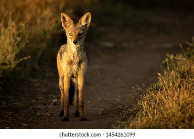 Black-backed jackal stands on track at sunrise