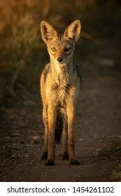 Black-backed jackal stands on track eyeing camera