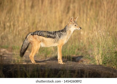 Black-backed jackal stands in profile in sunshine
