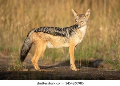 Black-backed jackal stands in profile turning head