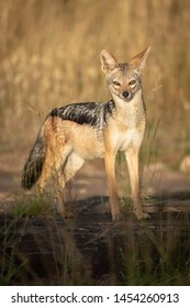 Black-backed jackal stands in sunshine eyeing camera