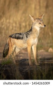 Black-backed jackal stands in sunshine in grass