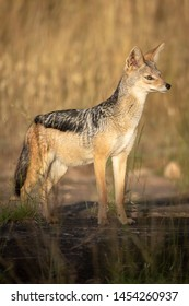 Black-backed jackal stands in sunshine lifting head