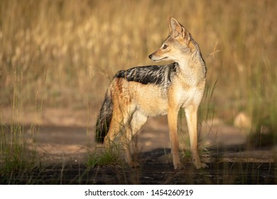 Black-backed jackal stands in sunshine looking back