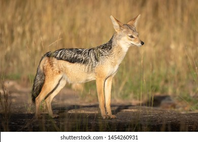Black-backed jackal stands in sunshine on rocks
