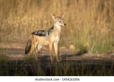 Black-backed jackal stands in sunshine on rock