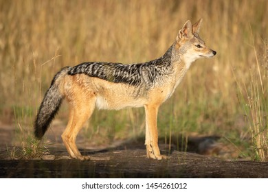 Black-backed jackal stands in sunshine in profile