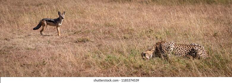 Black-backed jackal stands watching cheetah eat kill