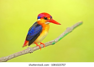 Black-backed Kingfisher in nature, Thailand
